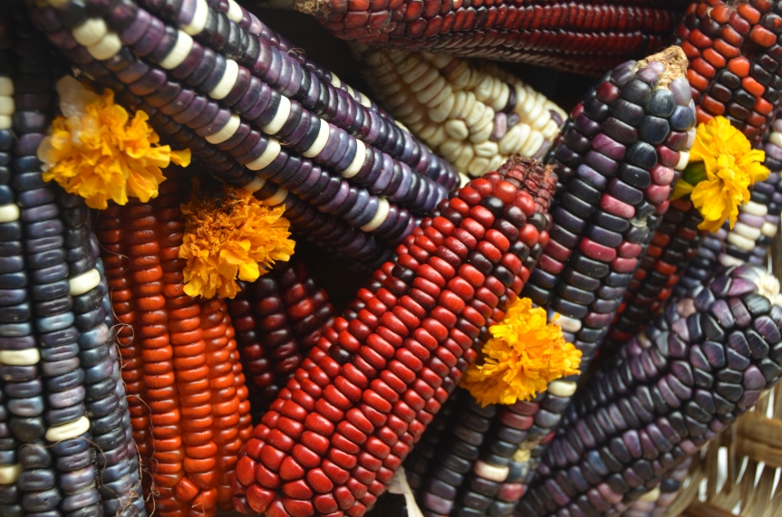 A few of the many varieties of corn, or maiz, available in Mexico